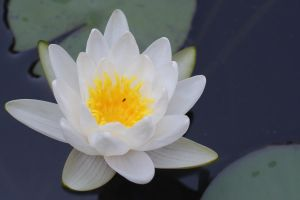 White Water lily by workwoman