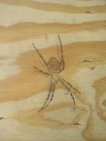 Spider on Wood detail by heartMelinda