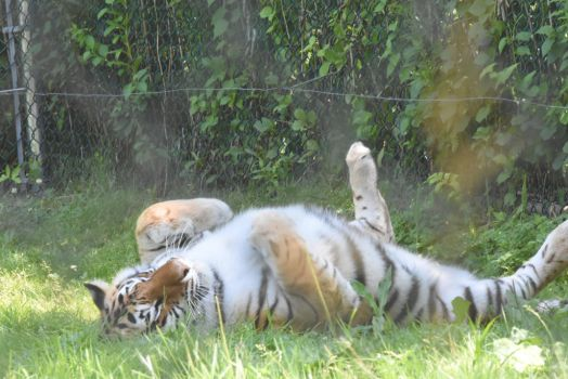 Tired Tiger Stretching Out In the Grass 5 by Miss-Tbones
