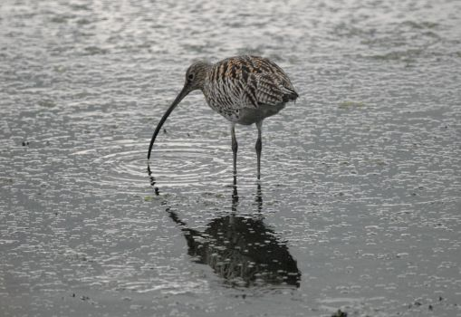 Curlew by Meluzina81