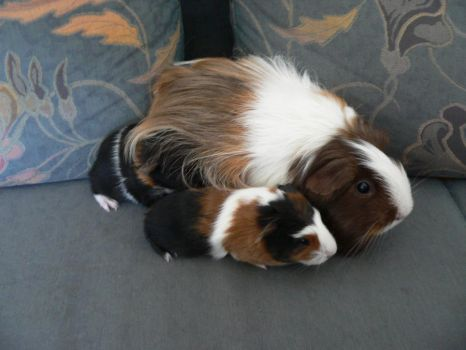 Baby guinea pigs with mother by Aredra