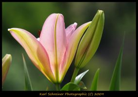 Lily 13 by KSPhotographic