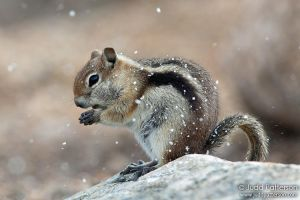 Golden-mantled Ground Squirrel by juddpatterson