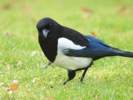 Magpie or Pica Pica II by pagan-live-style