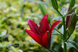 Red Asian Lily by JamDebris