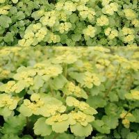 Golden saxifrage by rosaarvensis