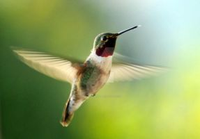 Broad-tailed Hummingbird Hover by houstonryan