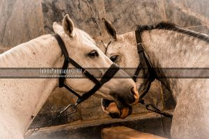 Royal Horses 5 by JullelinPhotography