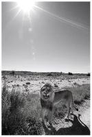 King of the Kalahari by hougaard