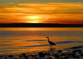 Heron Infront Of Sunset by wolfwings1