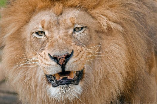 Happy Lion 0171 by robbobert