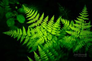 Ferns by Nitrok