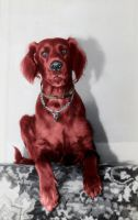 Red Setter by EKAndy