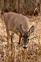 Shy white-tailed deer by RinFlorin