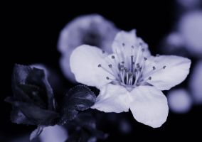 In blossom by luka567