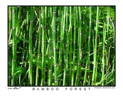 Bamboo Forest by anodyne1