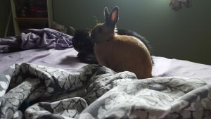 Cat/Rabbit Stock~ Koggy and Sorsha 1 by ChellytheBean