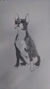 Boston terrier with a bee by Raven207b