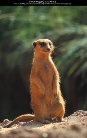 Meerkat Stock 4 by Cassy-Blue