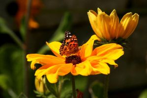 Monarch Sunflower by DawnAllynnStock