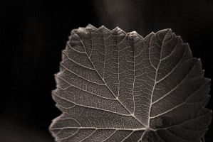 Grape leaf by Ksantor