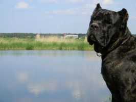 cane corso by krabiiss
