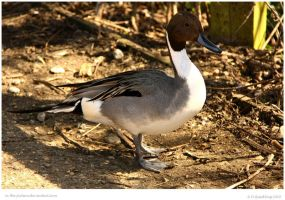 Pintail Walk By by In-the-picture
