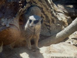 Meerkat by Cansounofargentina