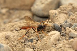 Wasp species unknown by mack1time
