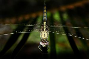 Dragonfly by TomMontgomery