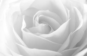 White Rose by tpphotography