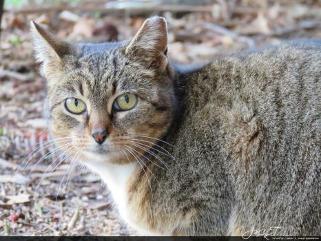 Feral Cat - Illinois - P1 by ytvrci