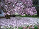 Japanese Magnolia 3 by Wolf-Daughter