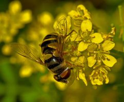 American Hover Fly 12-1 by boron