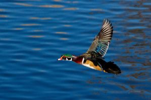 Wood duck drake in flight by Glacierman54