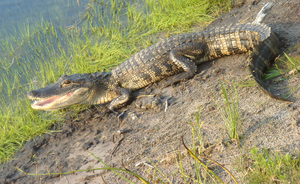 Basking Gator at Midday by Fail-Avenger