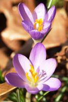 Crocus 03 by wulfdragyn