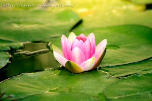 Water Lily Lake by Zarevic-A