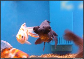 Fish Stock 0062 by phantompanther-stock