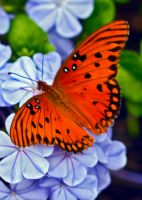 Another Gulf Fritillary by drewii57