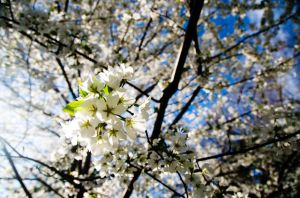 Cherry Blossoms by epicninja88