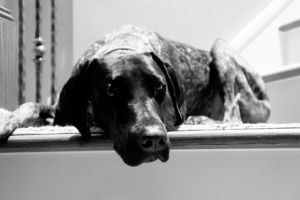 German Shorthaired Pointer IX by LDFranklin