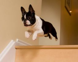 Boston Terrier Flying by Kaieleigh