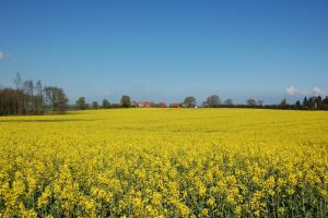 Fields of yellow - Rapeseed by Barefeet-in-the-rain