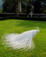 White peacock by Flammechant