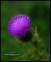 A Thistle by TRBPhotographyLLC