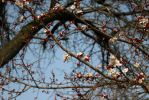Apple tree starting to blossom by croicroga