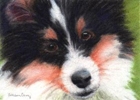 TrI-colored Sheltie Puppy by KathleenCasey