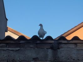 White Pigeon by KaiserBREE