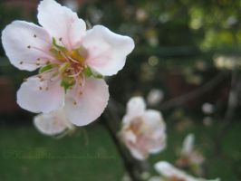 Peach Blossom I by KawaiiStars